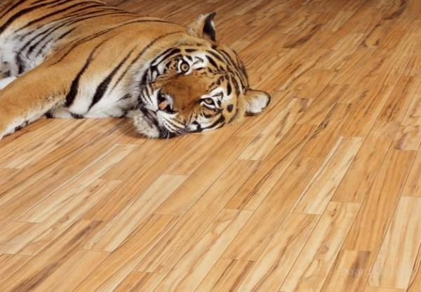 Тигру тоже нравится красивый лакированный пол