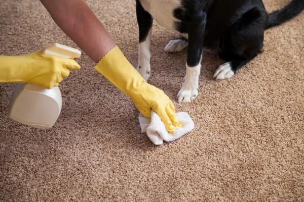 Мочу домашних животных убрать с ковра нужно немедленно, используя уксус и соду